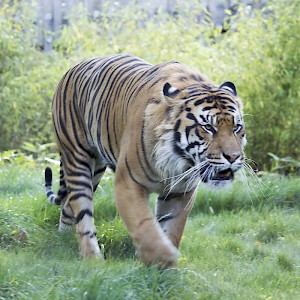 A Sumatran tiger (Panthera tigris sumatrae) at the London Zoo (Photo by Katie Chan)