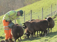 Get up close and personal with some of those Scottish sheep on a WWOOF adventure